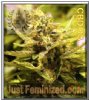 Cali Connection CBD OG 6 Female Cannabis Seeds